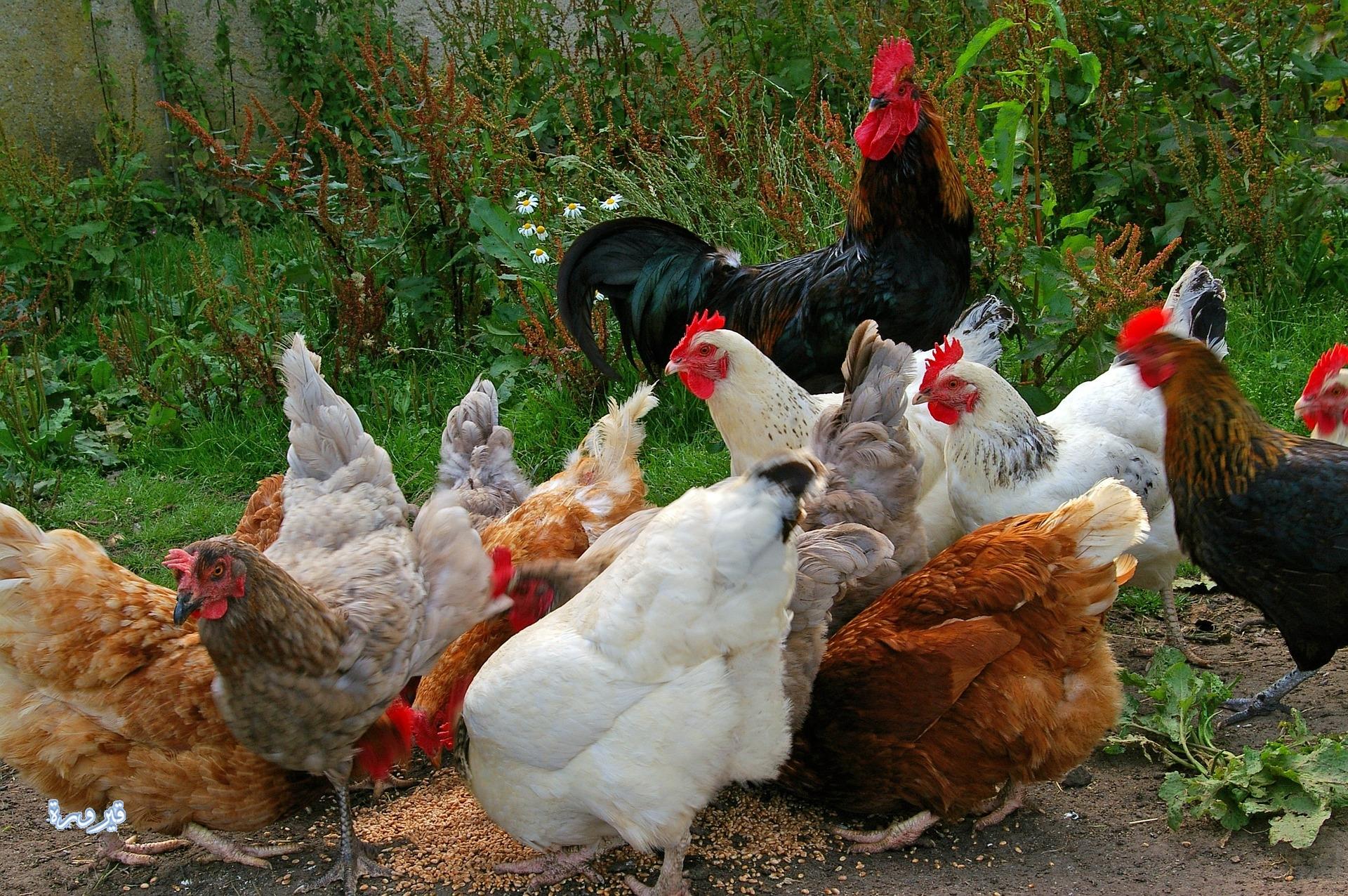 خلطات تسمين الدجاج